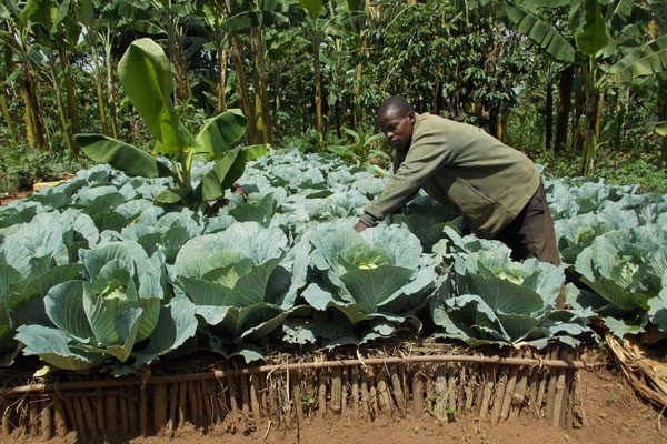 : Cabbages enable him earn a daily income. PHOTO BY MICHAEL J SSALI