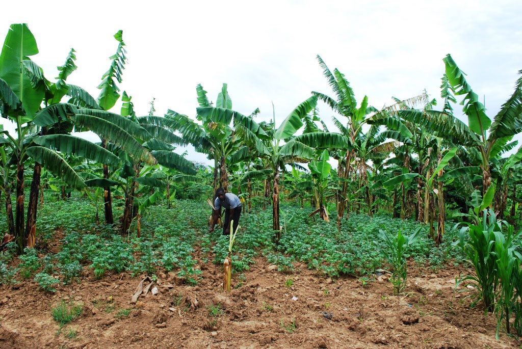 Sebyoto in his Irish potato garden. The bought this plot of land at Shs 700,000.