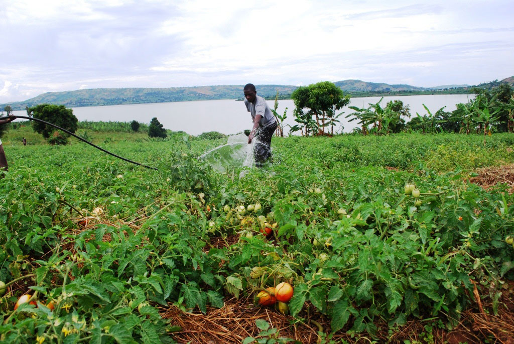 Ssebyoto irrigating his two acre tomatoe garden using a water pump donated to his group by Kitovu Mobile. In the background is lake Kijanabalora.
