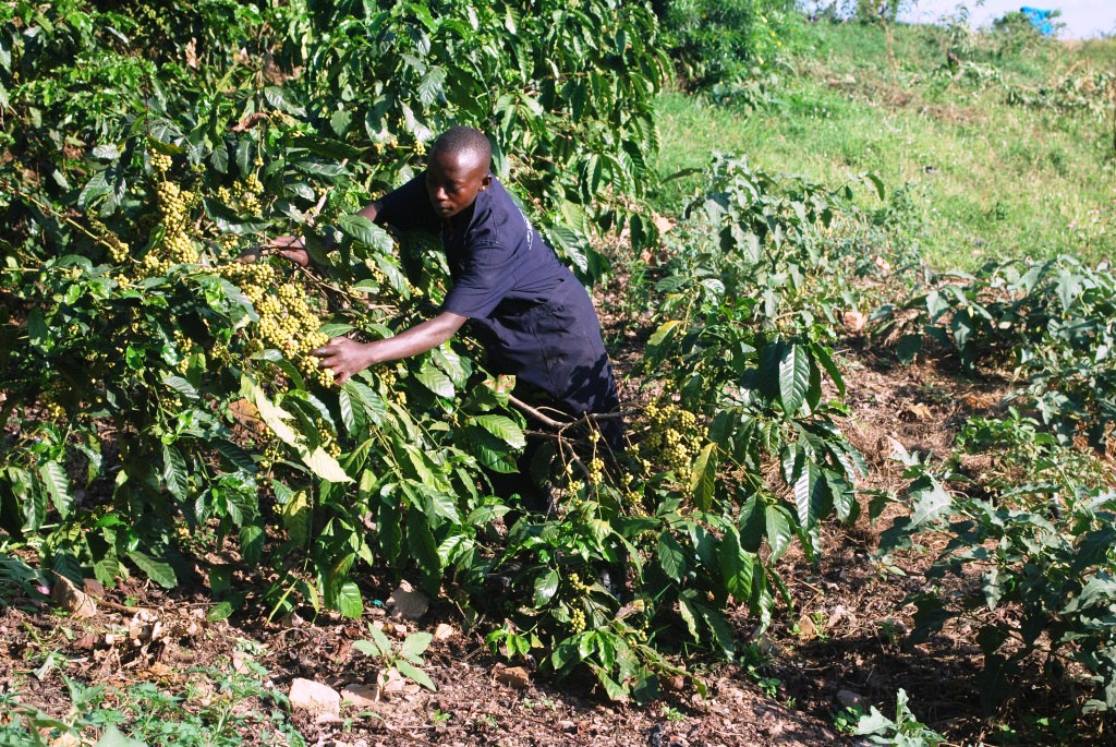 Twinamasiko in his flourishing coffee plantation, He says the good breed of seedlings were given to him by Kitovu Mobile.