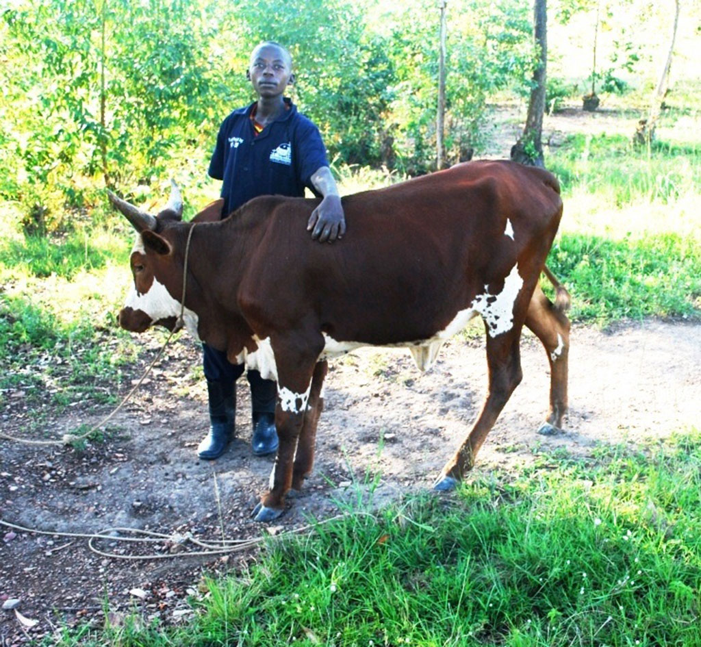 Twinamasiko shows off his cow which he bought using proceeds from his farm. He intends to keep it and later sell it to buy a plot of land.