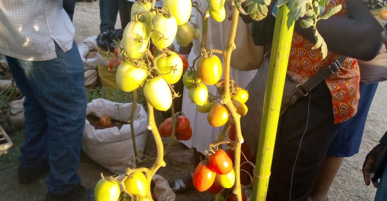 New high breed tomatoes on exhibition.