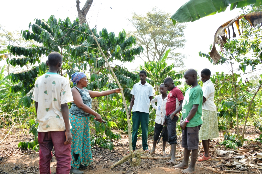 Nalubega shows trainees a coffee plant affected by coffee wilt disease as later train them on how stop further spread of the disease